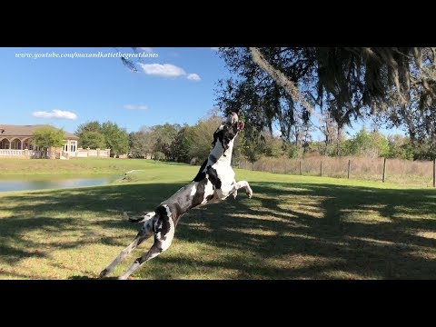 Joyful Jumping Great Dane Helps With the Gardening Chores