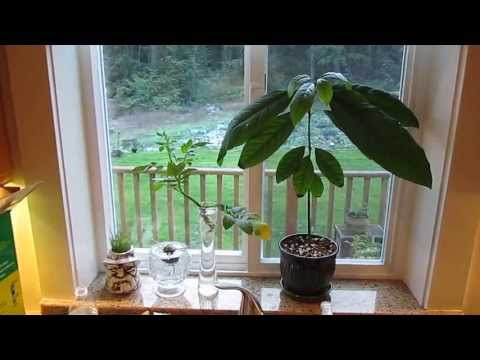 Indoor Avocado Tree: Growing your Own