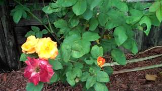 Hybrid Tea Rose Bush
