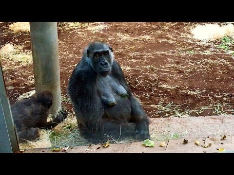 29. November 2017 Erlebnis-Zoo Hannover. Gorillas.