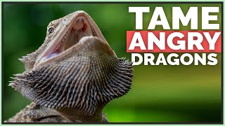 How I Tame Angry & Scared Bearded Dragons