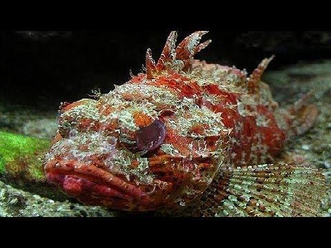 SCORPIONFISH - Scorpaenidae Aquarium Tank