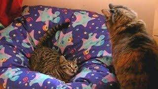 KITTEN ATTACK. Cat attacking kitten in bean bag. Too Cute.