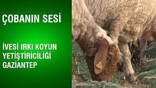Çobanın Sesi   İvesi Irkı Koyun Yetiştiriciliği / Gaziantep