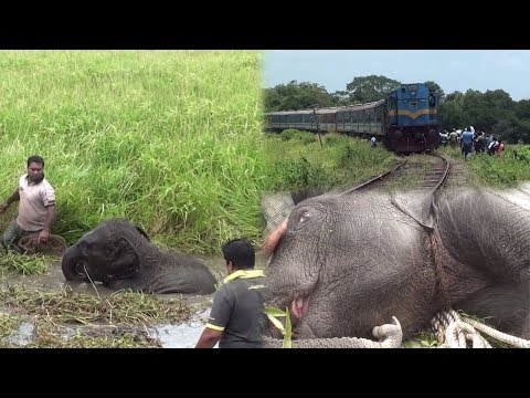 Injured baby elephant rescued by wildlife officers !