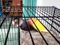 Pasangan Burung Lovebird Berkicau Merdu  Mp3 - Mp4 Download
