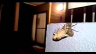 セミが羽化している様子です。 This is a video cicada has emerged. Ta...