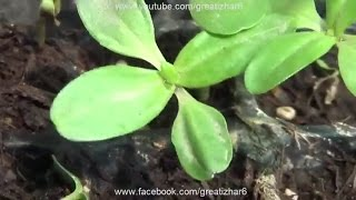 How to Grow Zinnia Flower From Seeds | How to Germinate Seeds | Summer Flower | Start to End (Urdu)
