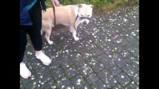 Aggressive Amstaff(american Staffordshire Terrier) Attack English Bulldog!!!!!!!!