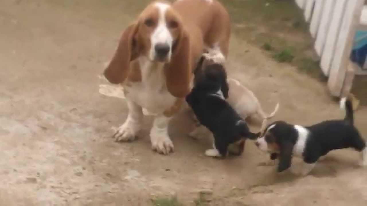cute plott hound dog - photo #34
