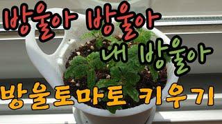 [JINEE'S DIY] 방울토마토/다이소/ 식물키우기…