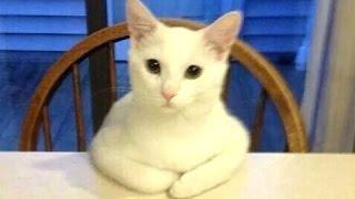 Juokingos katės elgiasi kaip žmonės. kompiliacija