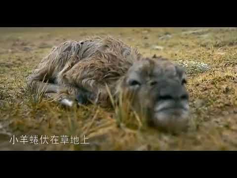 TIBETAN ANTELOPE DIFFICULT BABY TRIP