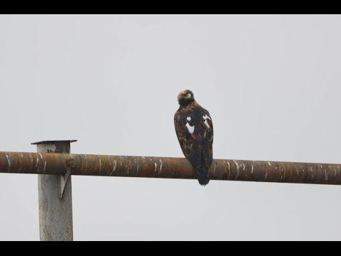 The Eastern İmperial Eagle (Aquila heliaca)