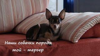 VLOG: Наши собачки породы той-терьер / OrenMama Vlog