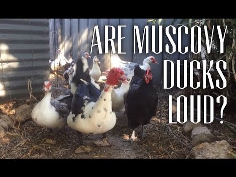 Feeding Frenzy - How Loud are Muscovy Ducks?