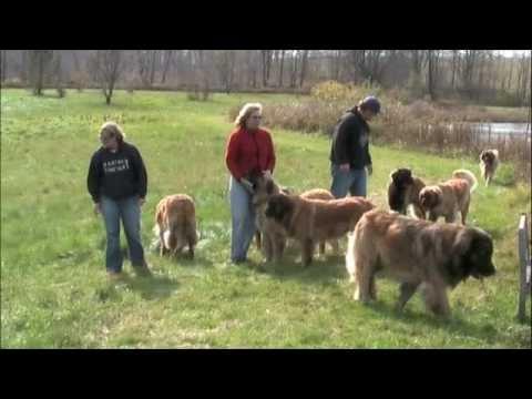 BoBev's Leonbergers Breeder-For Peter & Melinda