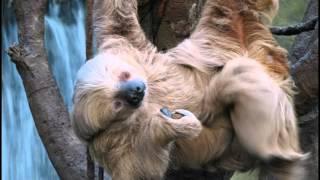 Самый старый ленивец в Мире \ Про животных