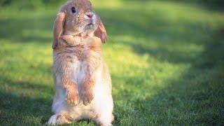 Кролики - как чистить уши