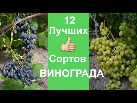 Вопрос: Есть ли сорт винограда -бокальный черный?
