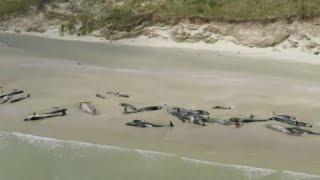 Strage di balene pilota in Nuova Zelanda