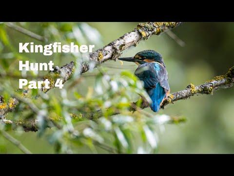 Kingfishers Hunt Success - Part 4 - Wildlife Photography, Common Kingfisher