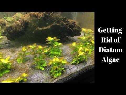 Getting Rid Of Diatom Algae