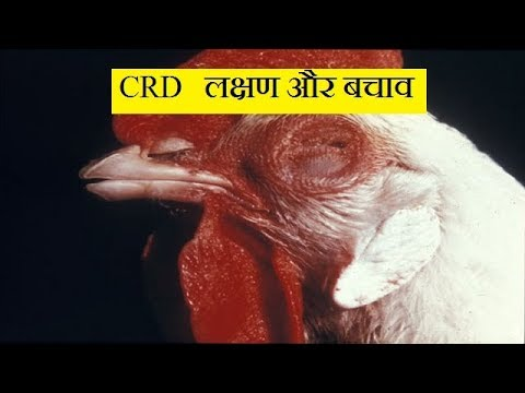 CRD लक्षण और बचाव ! crd in poultry | medicine and treatment | abhishek singh |