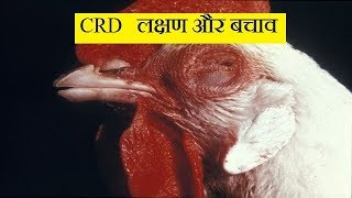 CRD लक्षण और बचाव ! crd in poultry   medicine and treatment   abhishek singh  