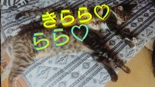 虎猫の親子(^^) 首に白い柄が母きらら♡ 虎だけが娘のらら♡ ◇超大型犬 北...