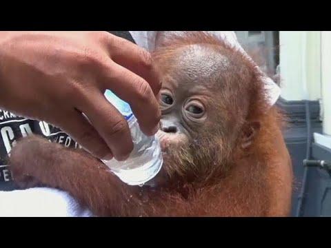 Endonezya: Rus turistin bagajından çıkan yavru orangutan şaşırttı