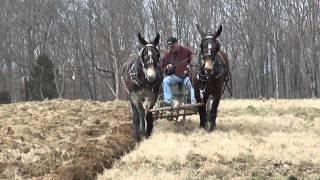 Mules Plowing Woodbury Tenn. (Part 2)
