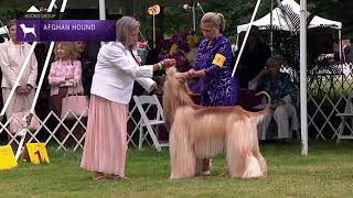 Afghan Hounds | Breed Judging 2021