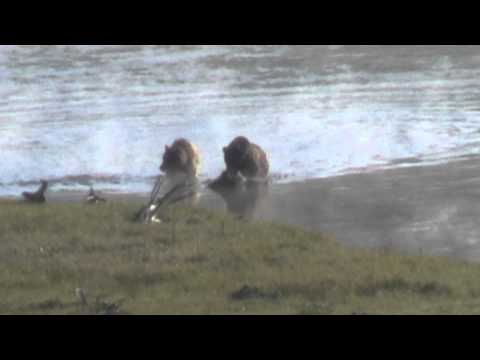 Yellowstone Grizzly Bear Smackdown