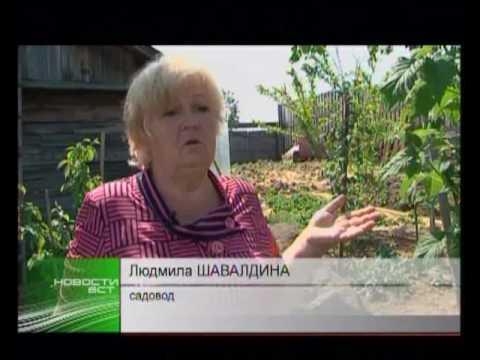 Зелёная дача жёлтая малина в Братске идёт на рекорд по урожаю