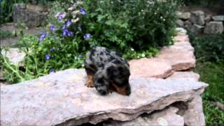 Miniature Silver Dapple Dachshunds Puppies For Sale  **719-306-8118**