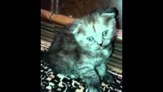 Плюшевые шотландские котята.