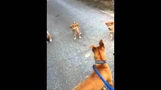 ピットブル対柴犬 柴犬が優勢です。 さすが、闘犬 血が騒ぐらしい( ̄▽ ̄...