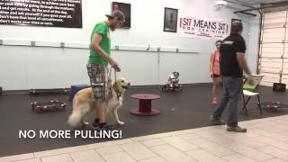 Golden Retriever Obedience Training | @www.sitmeanssithouston.com