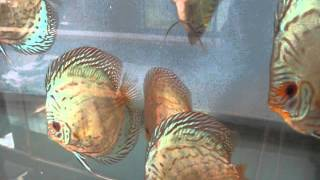 Blue Knight Discus - Breeding Stock