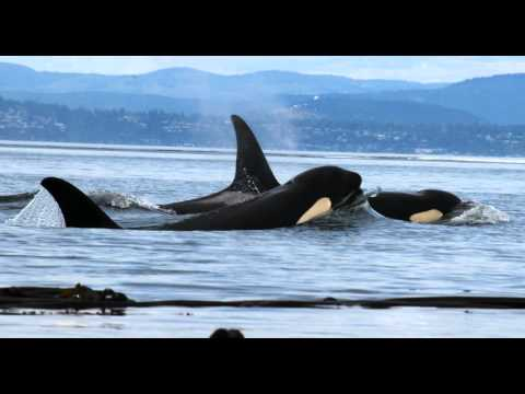 Orca Song June 2012
