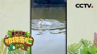 [正大综艺·动物来啦]鹅在水里翻滚有利于什么| CCTV