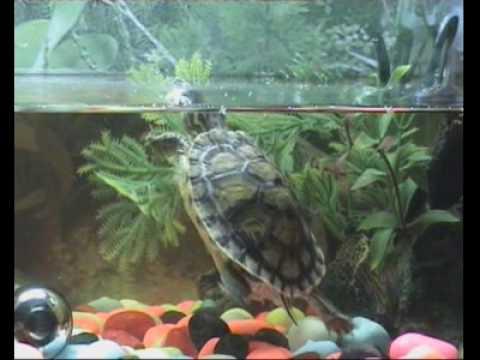 Tortugas en acuario de 60 litros 2 parte youtube for Acuario tortugas