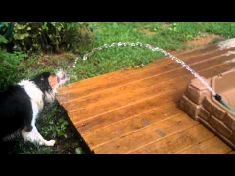 Dog, water, cognitive development, puppy playing with hose, English Shepherd, Sagan