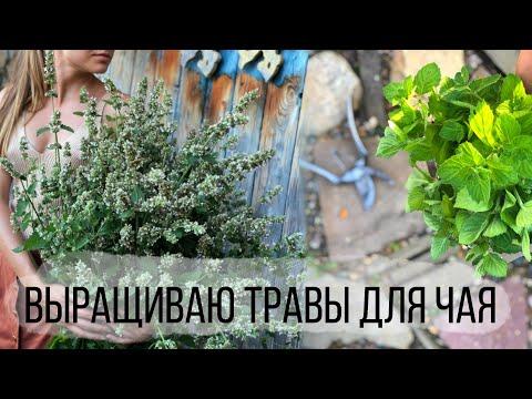 Как я выращиваю травы для чая | Тимьян, мята перечная, лимонная, ментоловая, душица, мелисса