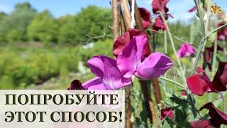 Душистый горошек в вёдрах / Посев в феврале / Огород в контейнерах