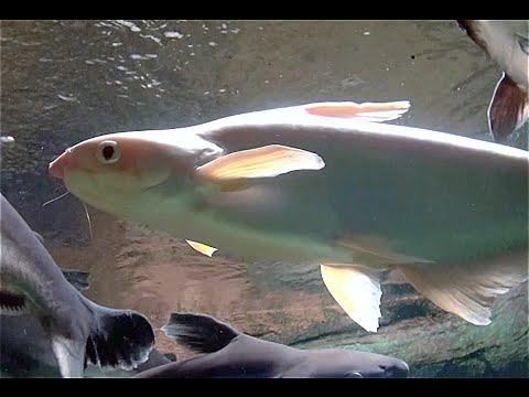 カイヤン Iridescent sharkSutchi catfish Pangasianodon