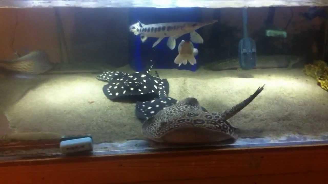 Freshwater stingrays pearl leopoldi 2x leo hen gars for Stingray fish tank
