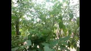 tomato garden maadi thottam organic chennai ashok nagar 12th avenue 9791052529