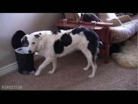 Remarkable Dog Tricks by Roxy the Border-Aussie